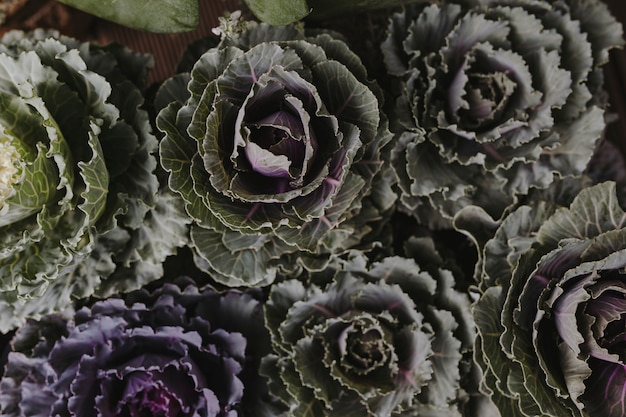 Closeup of ornamental cabbages and kales textured background
