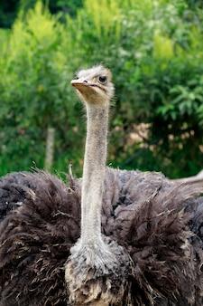 Closeup of ostrich over dark