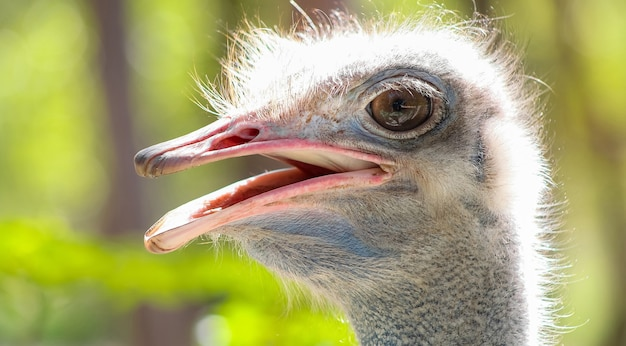 Closeup of an ostrich under the sunlight with a blurry setting
