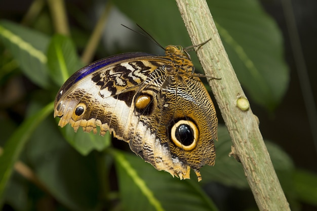 Closeup of an owl butterfly on a stem against blurry greenery