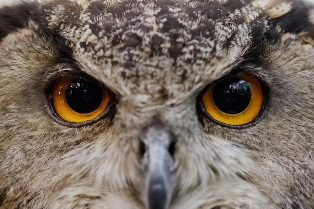 Closeup of owl face, carnivorous bird with amber eyes.