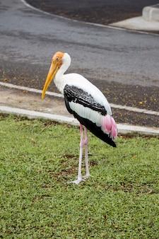 Closeup of painted stork bird.