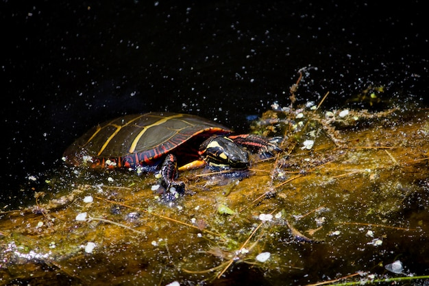 Closeup of a painted turtle hanging to a branch in water