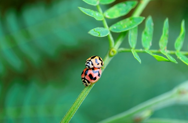 Closeup pair of lovely ladybugs mating on the green tree branch