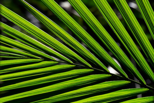 Closeup of palm leaf texture in backlight