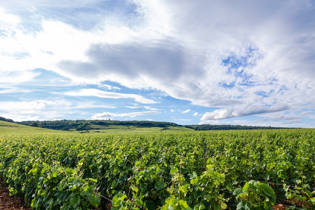 Closeup panoramic shot rows summer vineyard scenic landscape, plantation, beautiful wine grape branches, sun, limestone land.  autumn grapes harvest, nature agriculture