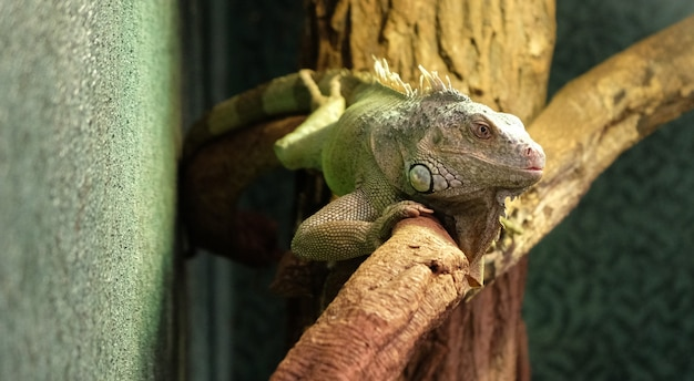 Closeup of a panther chameleon on a branch
