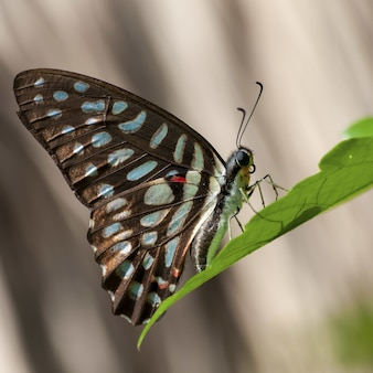Closeup of a papilio machaon sitting on a leaf under sunlight with a blurry background