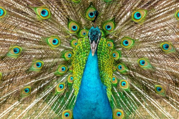 Closeup on a peacock on the farm