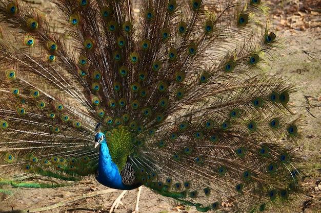 Primo piano di un pavone con piume aperte in un campo sotto la luce del sole