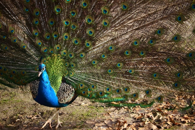 Closeup of a peacock with open feathers in a field under the sunlight