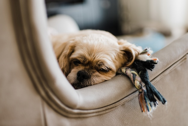 Closeup of a pekingese laying on a leather couch in a house with a blurry background
