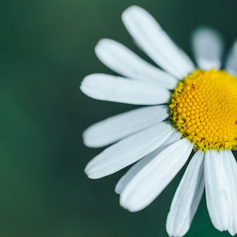 Closeup of a perfect single daisy chamomile