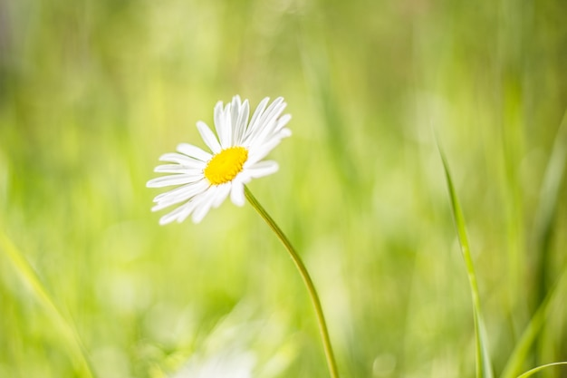 Closeup photo of a chamomile flower. lonely daisy during sunset
