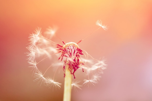 Closeup photo is dandelion in a  sunrise light.