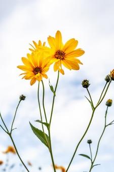 필드와 푸른 하늘에 노란 꽃의 근접 촬영 사진