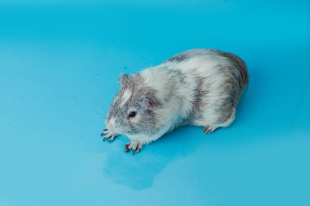 Крупным планом фото американской морской свинки на синем фоне premium фотографии