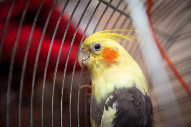 감 금 소에 앉아 아름 다운 노란 앵무새의 근접 촬영 사진