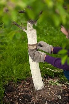 庭師が木の世話をし、特別なバンドで癒しているクローズアップ写真