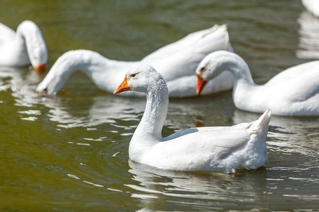 Gooses 수영과 호수에서 다이빙의 근접 촬영 사진