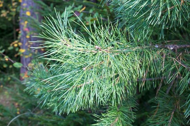 그림의 오른쪽에 녹색 바늘 소나무의 근접 촬영 사진. 가지 끝에 작은 솔방울. 백그라운드에서 흐리게 소나무 바늘