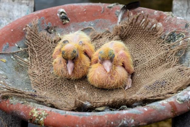 다락방에서 갓 태어난 귀여운 아기 비둘기의 근접 촬영 사진