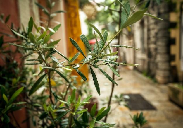 비오는 날씨에 오래 된 그리스 거리에서 자라는 올리브 나무의 근접 촬영 사진
