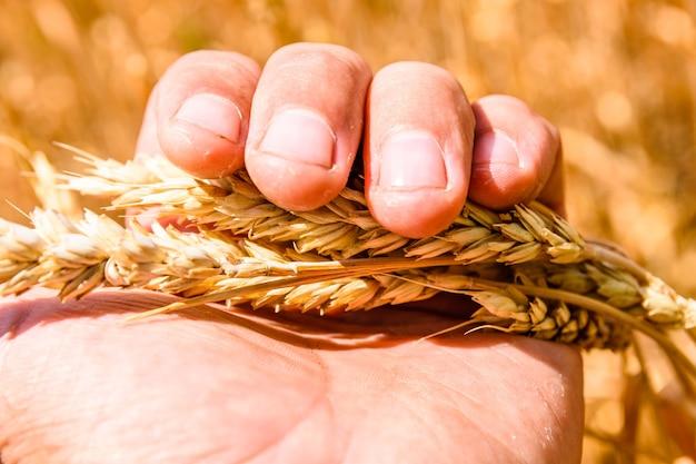 Крупным планом фото спелых желтых колосьев пшеницы в руке фермера