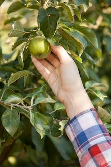 Крупным планом фото женщин, собирающих зеленое яблоко из ветки