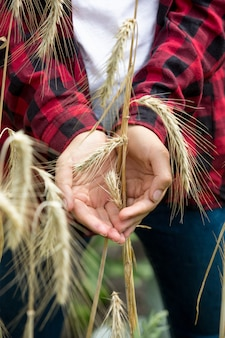 Closeup photo of ripe wheat spikes in hands