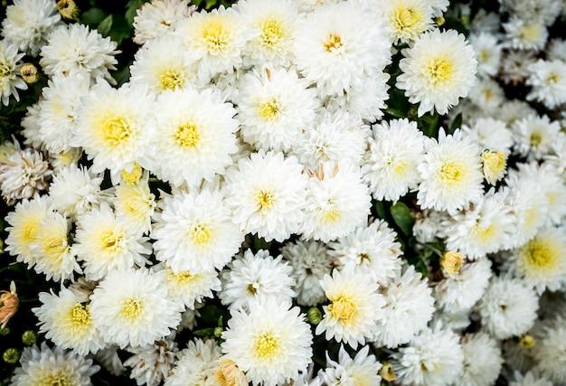 Closeup photo of white flowerbed of chrysanthemums