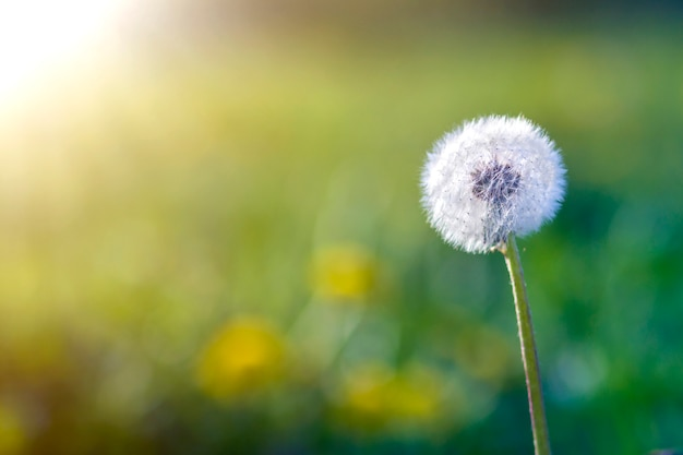 Closeup picture of beautiful overblown white puffy flower dandelion with tiny black seeds standing alone on high stem on blurred green bokeh . beauty and tenderness of nature concept.