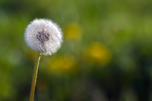 Closeup picture of beautiful overblown white puffy flower dandelion with tiny black seeds standing alone on high stem on blurred green bokeh. beauty and tenderness of nature concept.