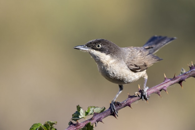 Closeup picture of an old-world flycatcher on a prickly branch against a blurry background