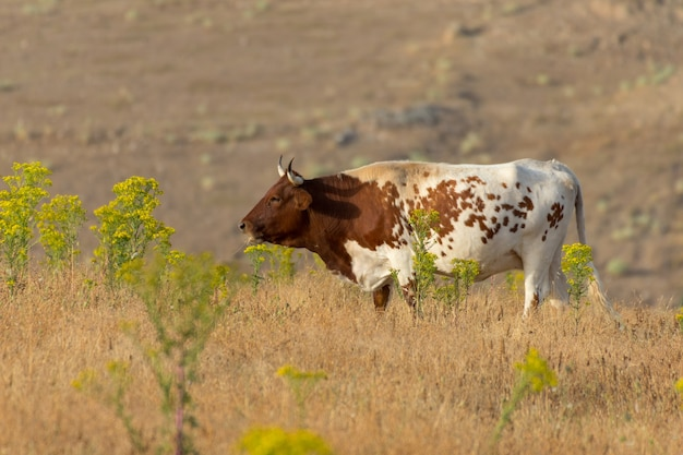 Closeup of a pineywoods cattle in the spanish dehesa under the sunlight in salamanca, spain