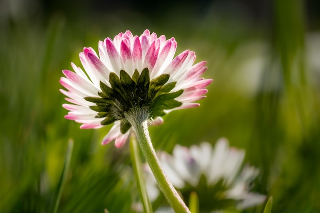 Closeup  of a pink-edged daisy flower in a field