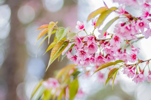 Closeup pink flowers of wild himalayan cherry (prunus cerasoides) with blurred background  bokeh, chiang mai, thailand