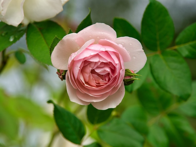 Closeup of a pink garden rose surrounded by greenery with a blurry background