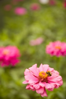 Closeup of a pink gerber daisy with a large bumblebee on a background of summer flowers