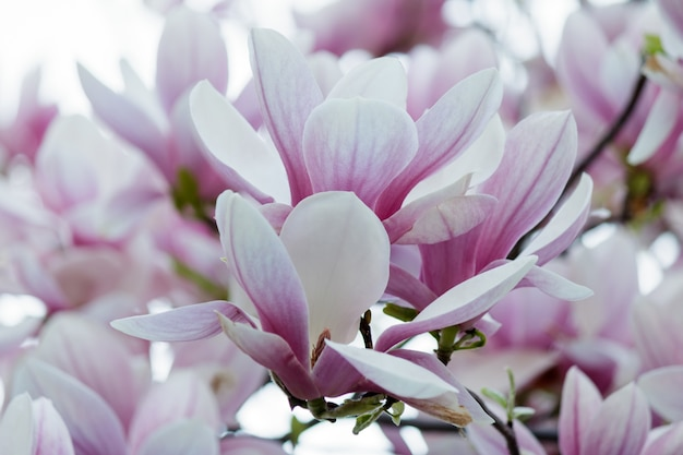 Closeup of pink magnolia flowers on a tree with blurry