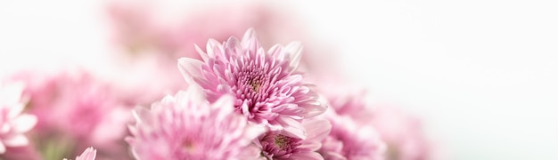 Closeup of pink mums flower on white background with copy space using as background natural flora