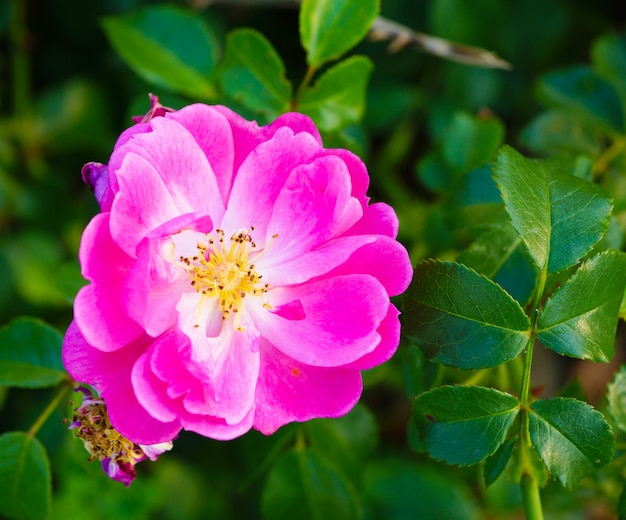 Closeup of a pink rosa gallica surrounded by greenery in a field under the sunlight at daytime