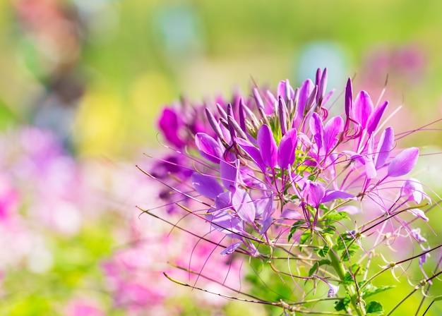 Closeup of pink spider flower in natural garden