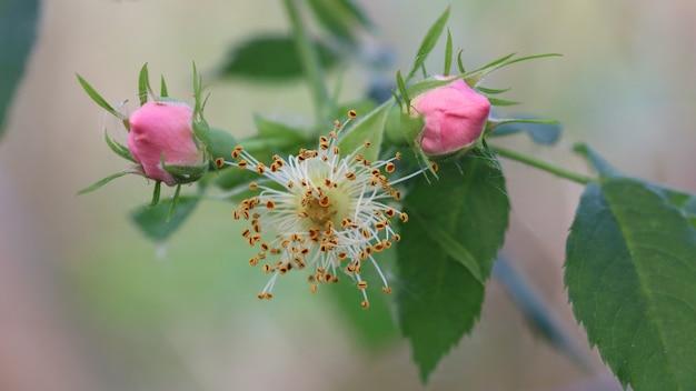 Primo piano di boccioli di rosa selvatica rosa