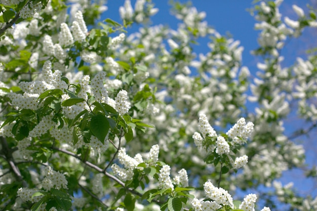 A closeup plane of fluffy blooming white bird-cherry branches