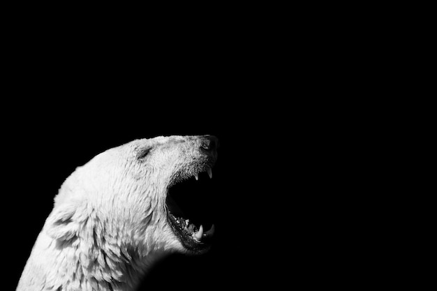 Closeup of a polar bear screaming