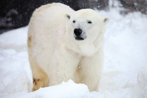 Closeup of a polar bear standing on the ground during the snowfall in hokkaido in japan