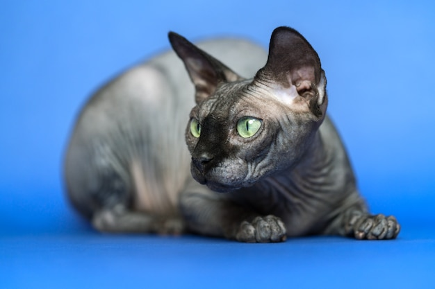 Closeup portrait of adorable hairless female cat canadian sphynx on blue background