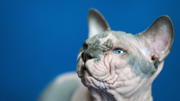 Closeup portrait of canadian sphynx cat  breed of cat known for its lack of fur on blue background