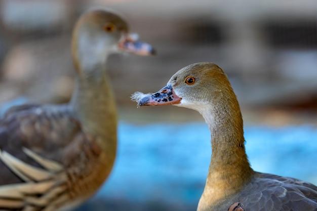 Closeup portrait of a duck in a farm